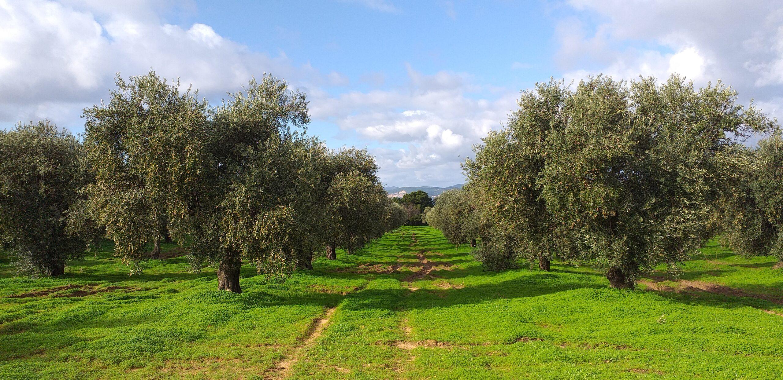 oliveto calabona 4
